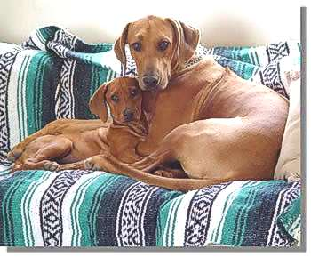 Jewel and another Rhodesian Ridgeback puppy that went to Alaska