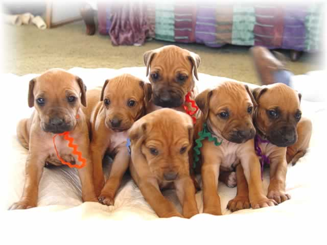 A litter of Rhodsesian Ridgeback Puppies