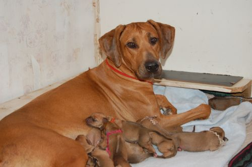 Rhodesian Ridgeback puppies born December 28th, 2007